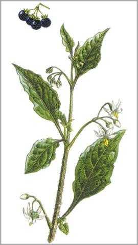 hierba-mora-planta